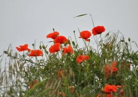 Splashes of colour... field poppies against a grey summer sky!