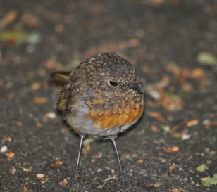 Juvenile robin in st Stephens Green