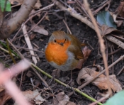 Happy Mr Robin... sharing my food was a pleasure... hopefully for both of us!