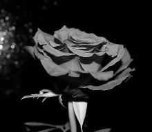B&W perfection! Valentines Day rose...