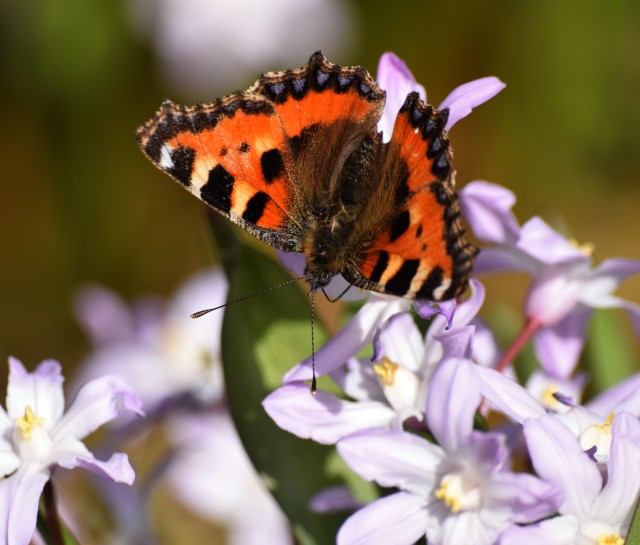 My first butterfly pics of the year... small tortoiseshell.