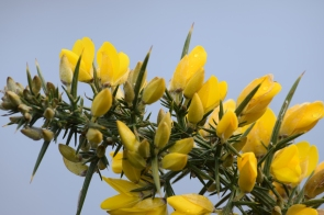 Prickly situation the spring colour! Bright gorse against a grey sky!