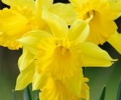 Frills galore... yellow and bright!!