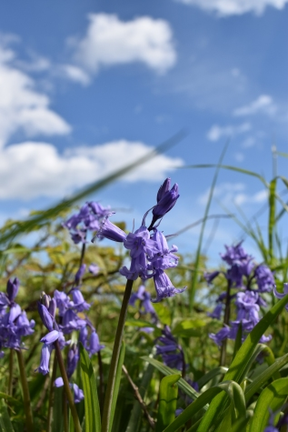First bluebells of the season!! Happy!!