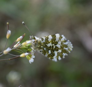 I see you! yes, I do!! Female Orange Tip Butterfly on the lookout!