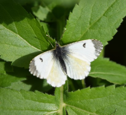Basking... female Orange Tip posing...