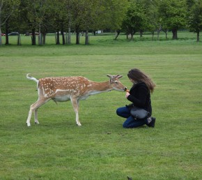 Gimme more! I want your carrot! Phoenix Park deer on the scrounge...