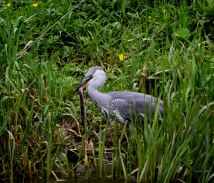 The Heron and the eel... the heron won!!