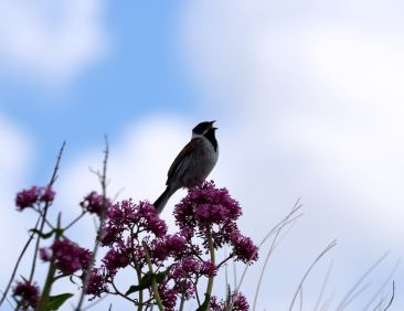 Male Reed Bunting at North Bull Island