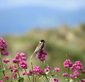 Happy reed bunting atop it's perch