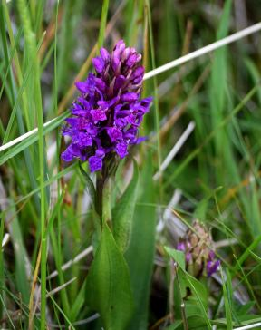 The wild orchid, not such as frequent sight, even in the wilds of North Bull Island