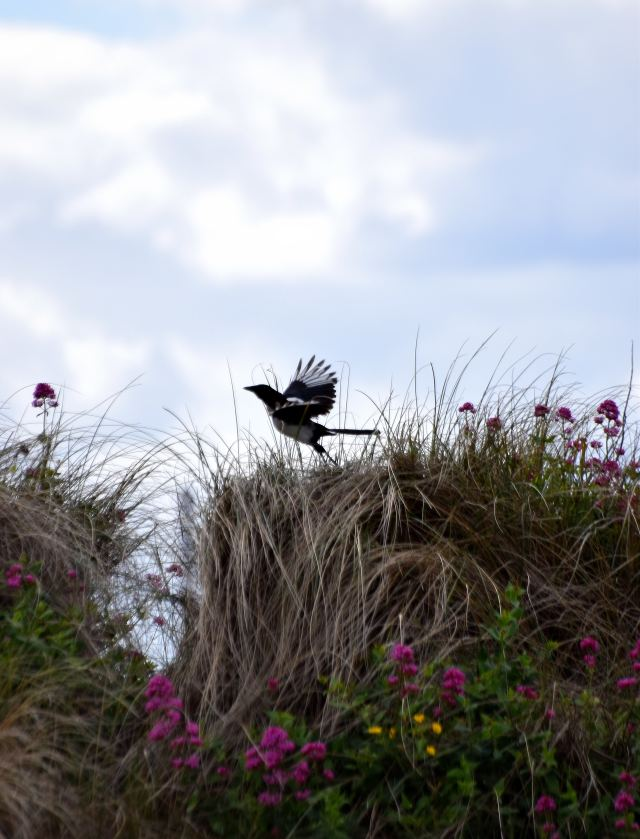 North Bull Island takeoff... the magpie liftoff!