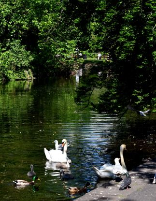 A new flush of cygnets... there's a future!