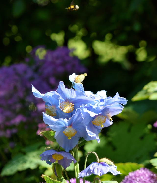 Chasing the blues away!! Blue poppies in St Stephens Green, Dublin, Ireland