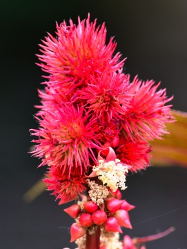 Fluffy reds?? The soft and fuzzy type!