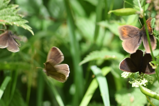 Meadow Brown and Ringlets cavorting... shameful!! ;-)