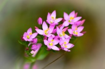 Pretty in pink! Bog flowers... Common Centaury