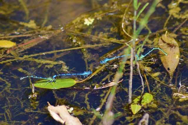 Mating damselflies beneath our feet... not quite literally...