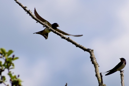 The swallow tree... flying scool landing pad for young birds!