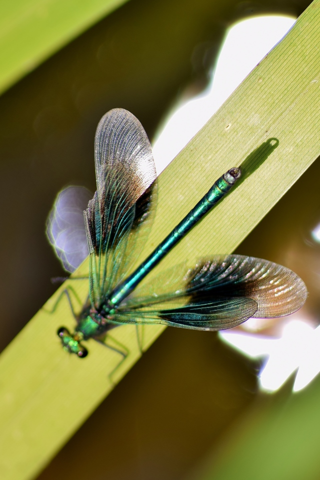 Banded Demoiselle... with wings open!
