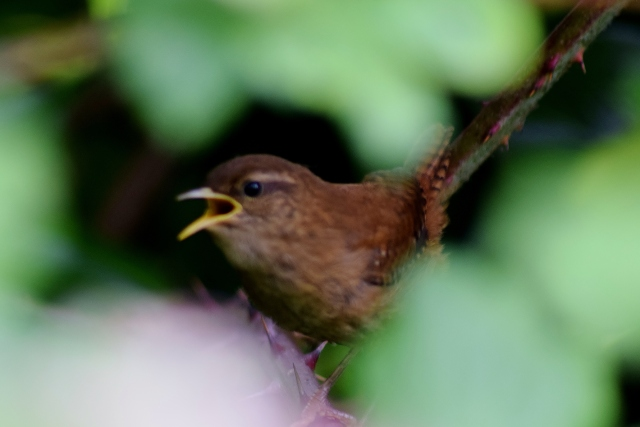 Cheeky timid wren in an Irish hedgerow along the Royal Canal