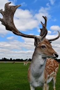 Is the best angle? Who knows?? ;-) Phoenix Park stag giving me the once over...