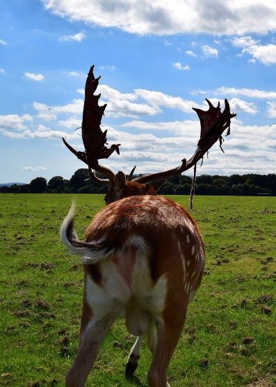 The best view of a donkey is the rear end... but this is a deer...