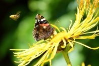 Red Admiral buzzed by bee... oh, so summery!!