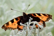 Small Tortoiseshell as seen from below with the sun from above...