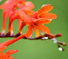 Raindrops on crocosmia... good things from down south!!