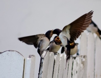 Parent swallow feeding the young... the magic of belief!!