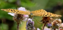 Silver-washed Fritillary = happy feet!