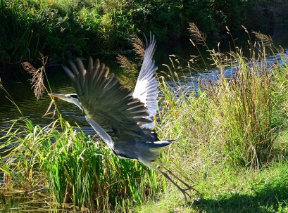Lift off again! A Royal Canal resident heron takes off at the last second!