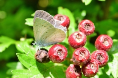 Holly Blue on hawthorn berries... an autumn treat!