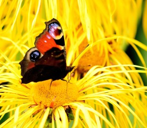 Yellow eruption... seems to overwhelm the butterfly...
