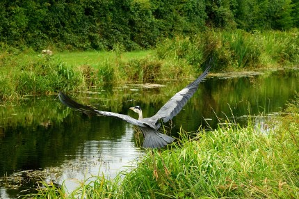 Heron take-off...