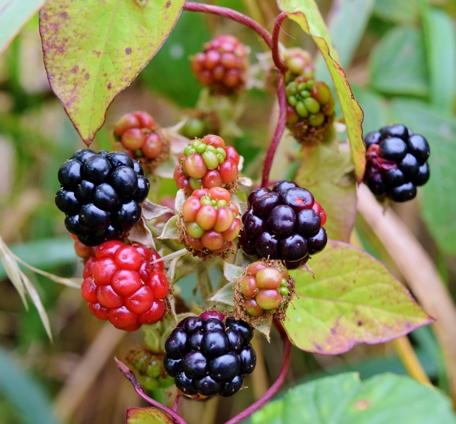 The berries change colour! It's the season of harvest... the rewards are good, if you dare to pick them!