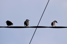 Three birds... 3 starlings on the wire...