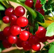 These berries look deceptively delicious!! Stay away... they're toxic guelder rose berries!!