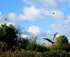 Herons majestically fly, we happily admire!