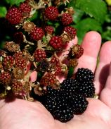 A hand full of autumn bounty... to be found in my happy place - the Royal Canal, Ireland!