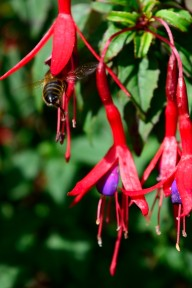 A bit of colour... bee and fuchsia... reminders of a summer gone by??