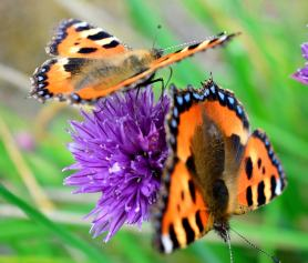 Reminders of summer... two Small Tortoiseshell's on chives