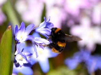 Happy spring bumblebee going about it's business...
