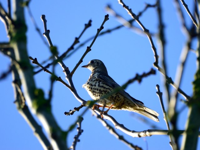 Song thrush in a winter tree... first Sunday of the new year was bright enough to venture a winter walk!
