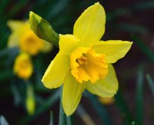 2016 - January daffs! True... I kid you not!!