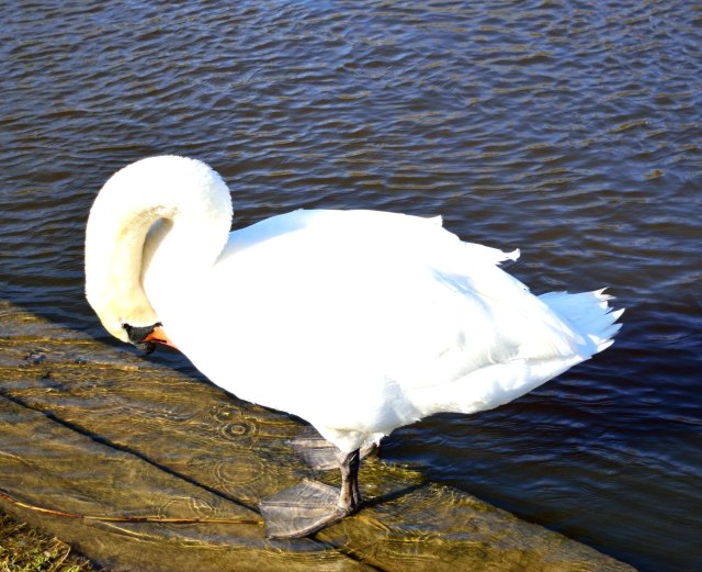 Wet foot - swan preening