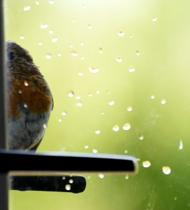 Mr Robin calling by for a feed... happy him!