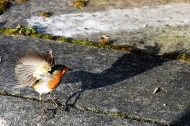 Hopping robin!! Fun with the remote shutter release!