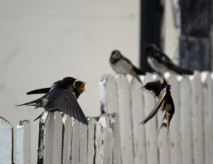 Two part harmony... calling for food! Fledgling swallows still relying on mammy and pappy for their sustenance!